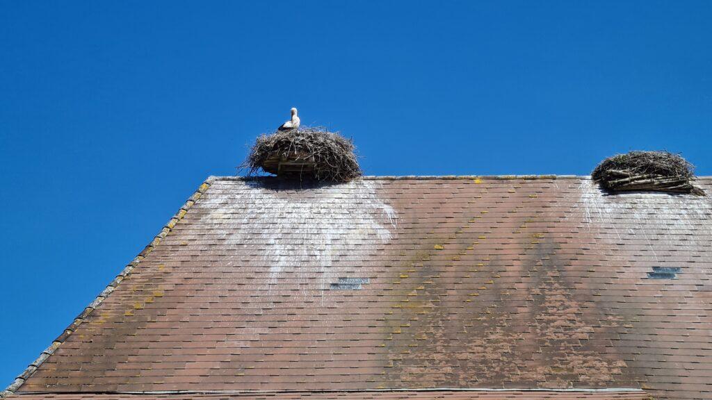 Nid de cigognes sur le toit d'une ferme à Altreu