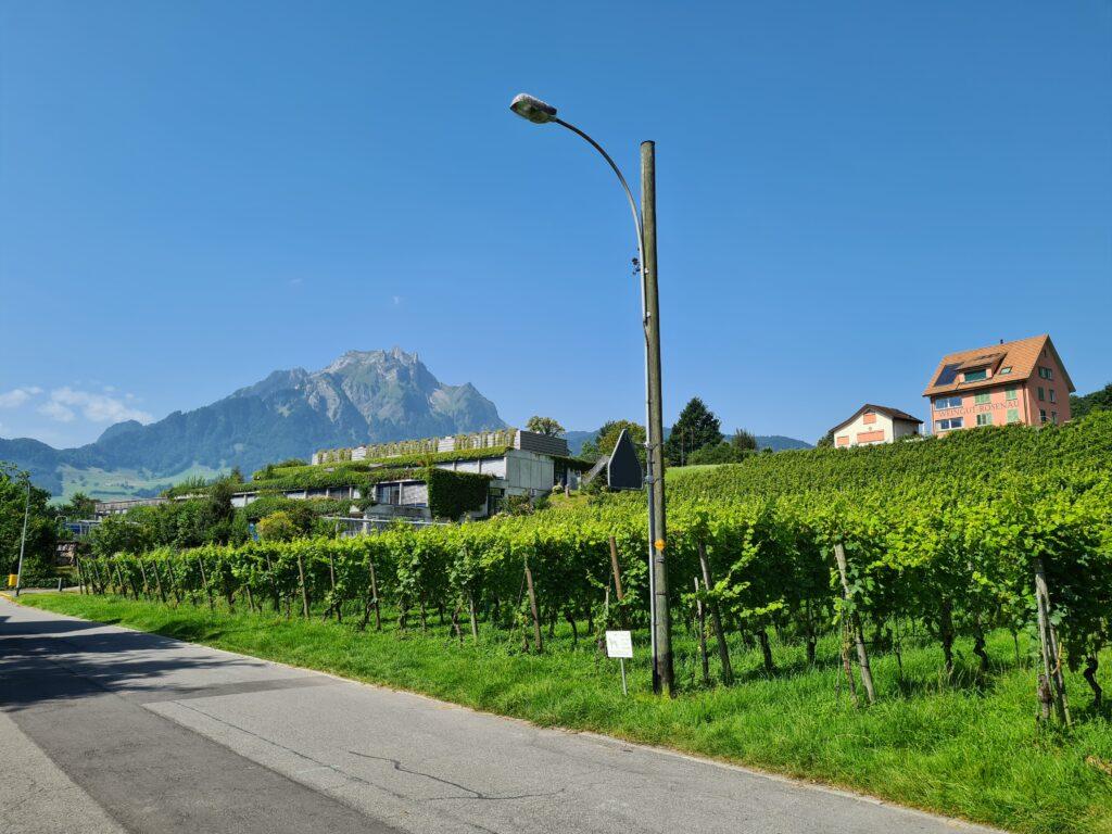 Tour in bicicletta nella Svizzera centrale: vista sul vigneto Sonnenrain nella penisola di Horw. Sullo sfondo si staglia il monte Pilatus.